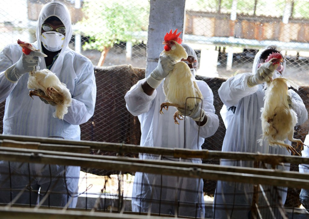 Image: Indian health workers wring the necks of chickens during a culling