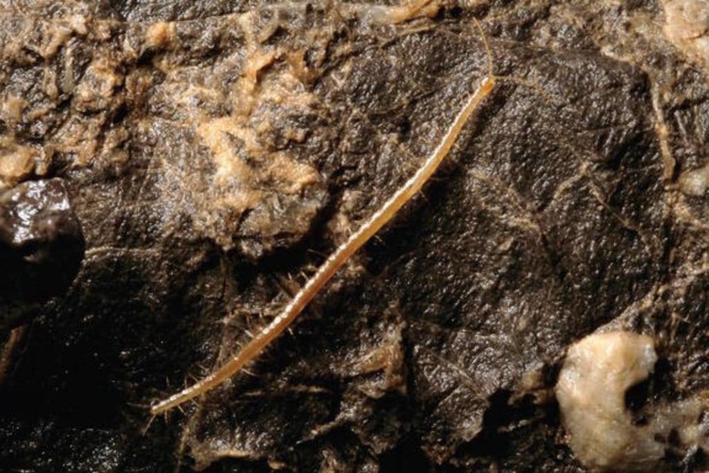 Image: Hades centipede