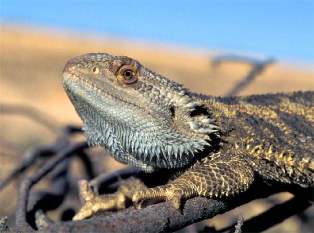Image: Bearded dragon lizard