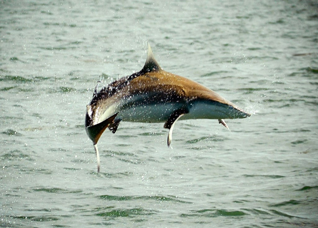 A Spinner shark jumps out of the water