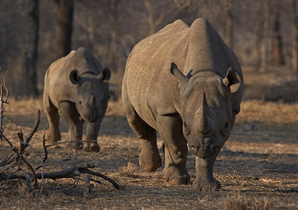 Image: An endangered east African black rhino and her calf walk in Tanzania's Serengeti park