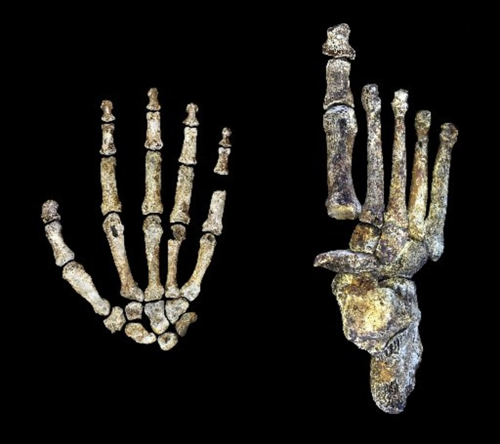 Image: Fossils of hand and foot of ancient human ancestor Homo naledi