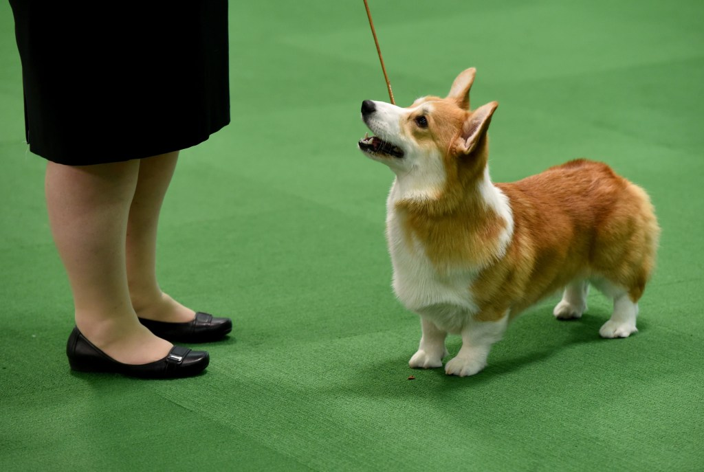 Image: US Westminster Dog Show 15