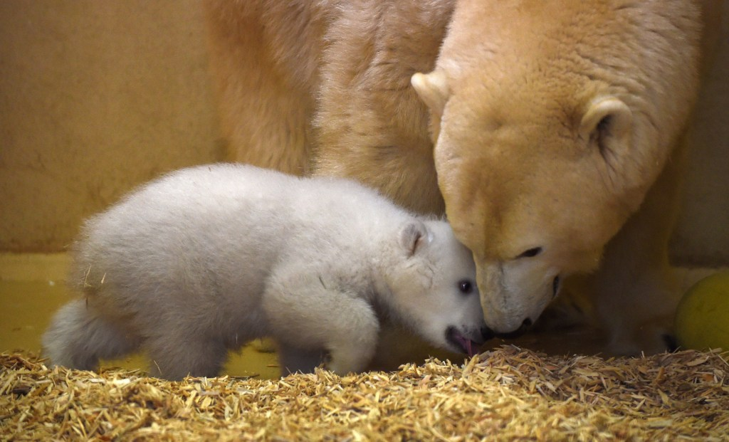 "Image: The still unnamed baby polar bear plays with her mother ""Valeska"""