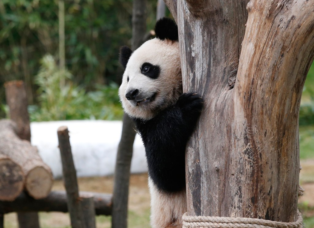 Image: Two-year-old female giant panda, Ai Bao, plays during a photo opportunity for the media