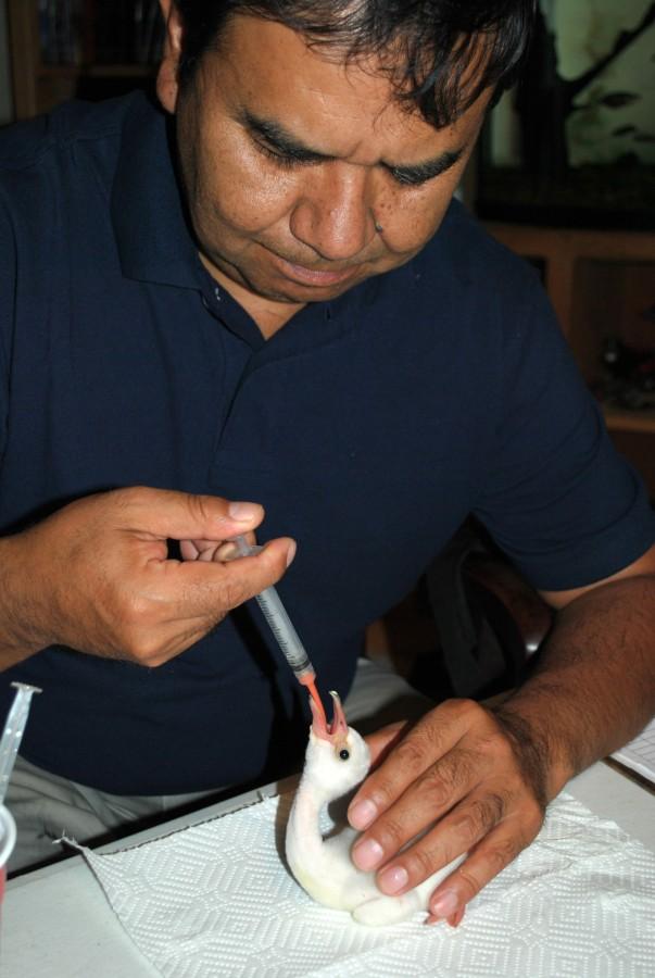 Omar Rocha feeding a recently hatched flamingo chick