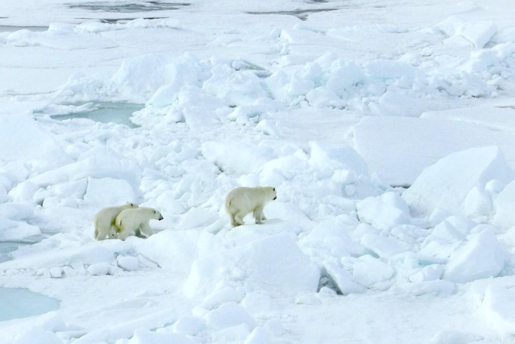Image: Polar bears seen from an icebreaker in Russia