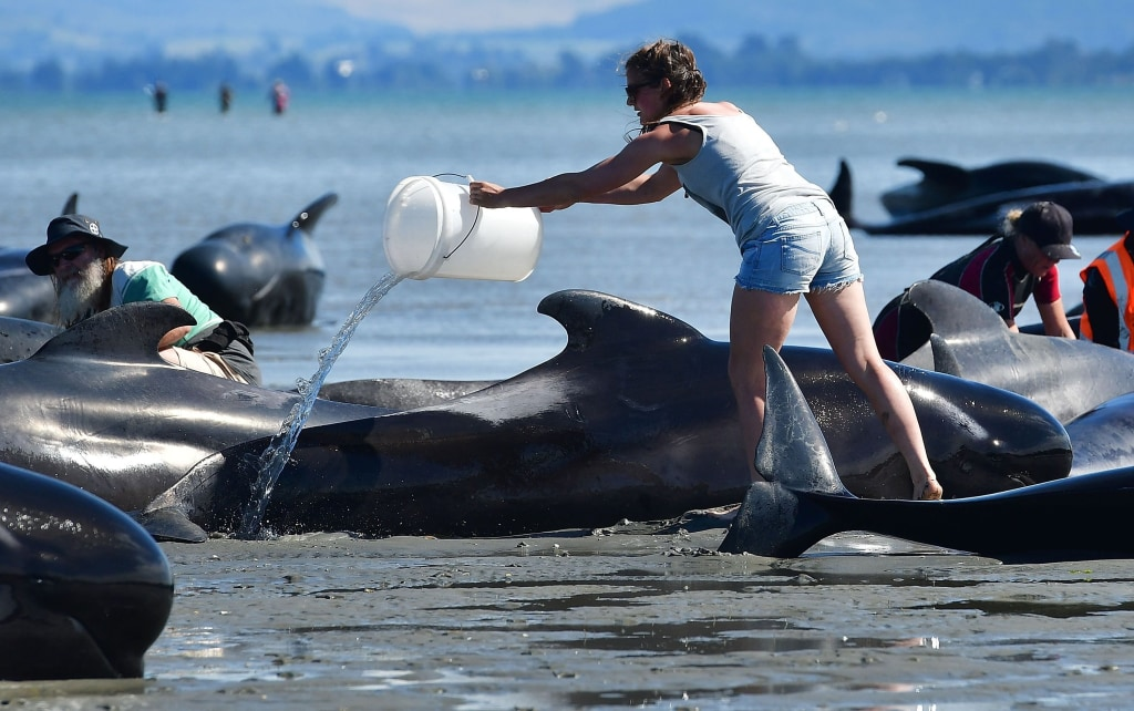 Image: A volunteer pours water on pilot whales at Farewell Spit on Saturday.
