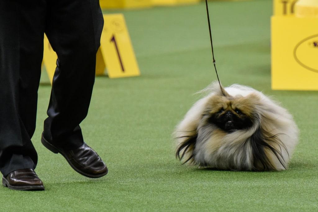 Westminster Dog Show Trump Pekingese