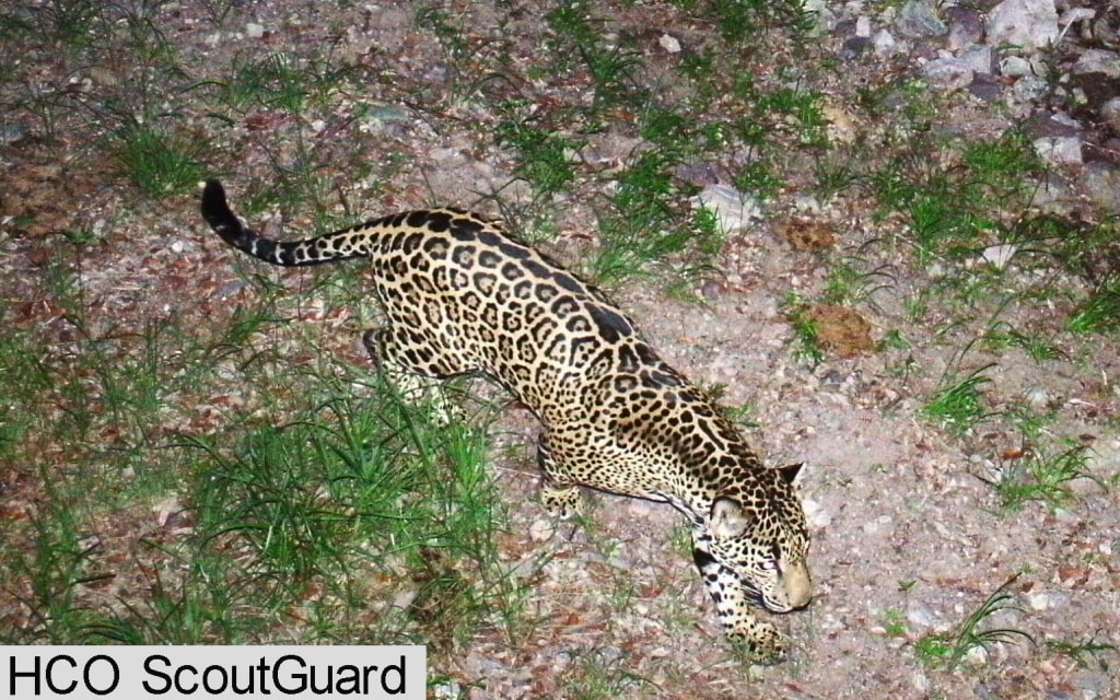 Image: Adult male jaguar photographed in southern Arizona by motion-detection wildlife monitoring cameras