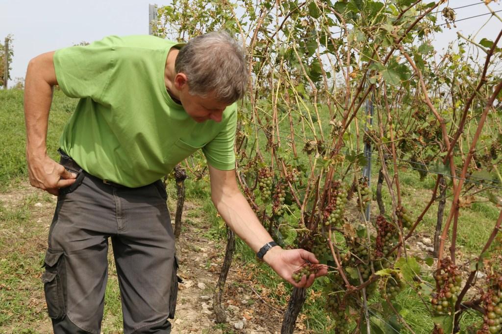 Image: Adolf Dahlem checks on vines