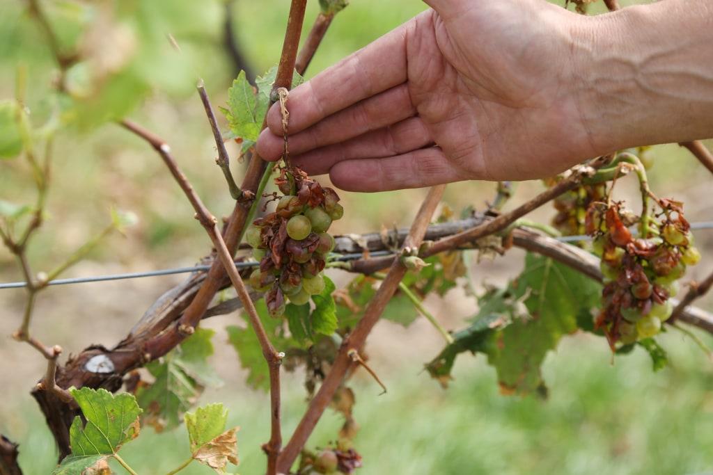 Image: Adolf Dahlem examines his damaged vines