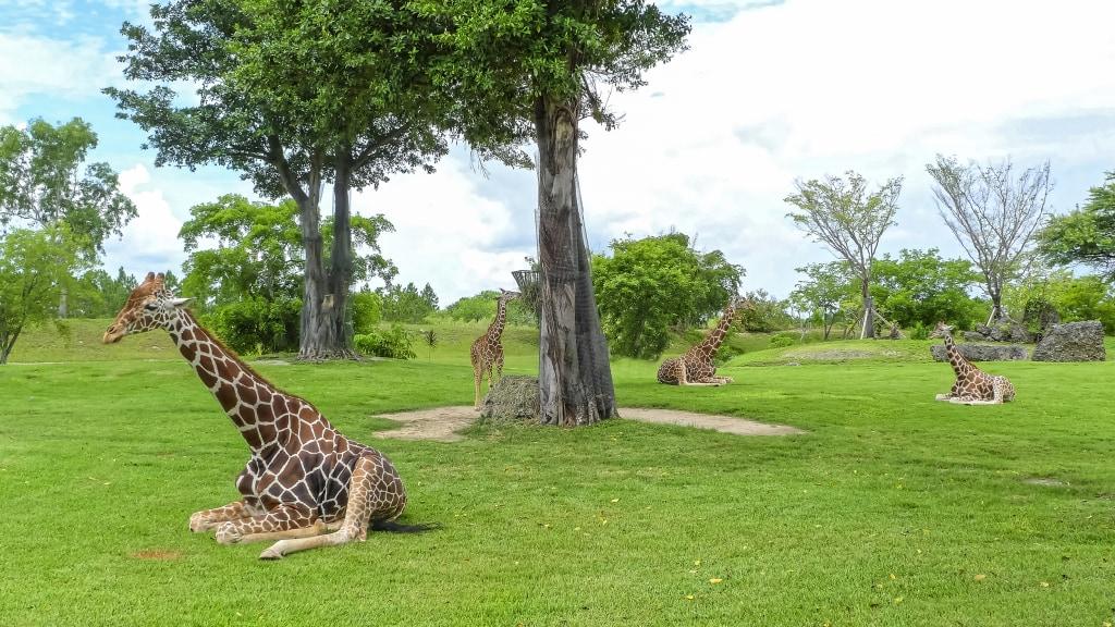 Image: Giraffes at Zoo Miami