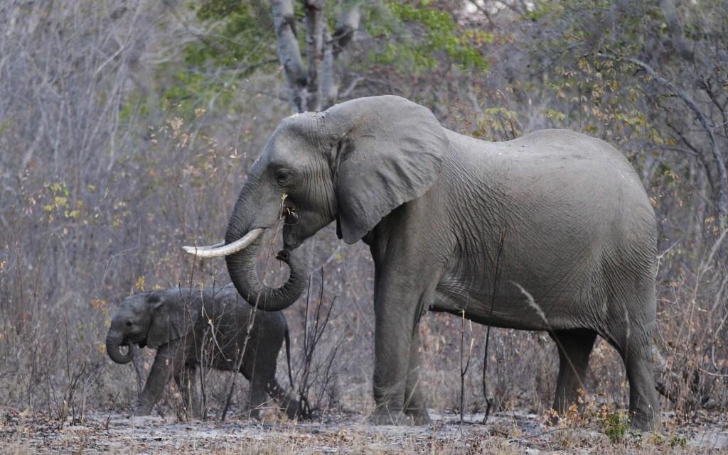 Image: Elephants graze inside Zimbabwe's Hwange National Park
