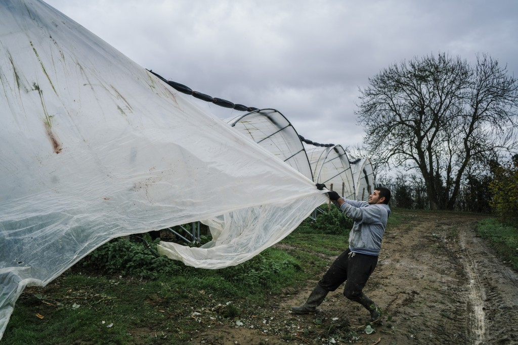 Image: A Bulgarian worker removes plastic sheeting from a tunnel used to grow raspberries