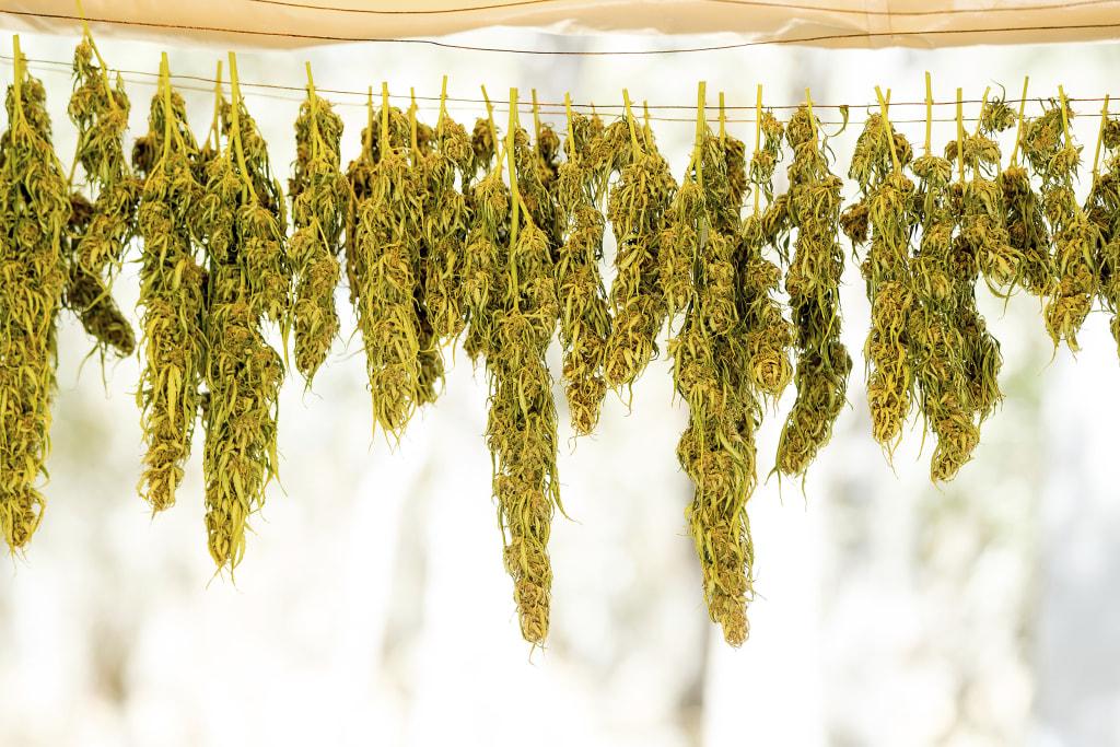 Image: Marijuana hangs on a line while drying