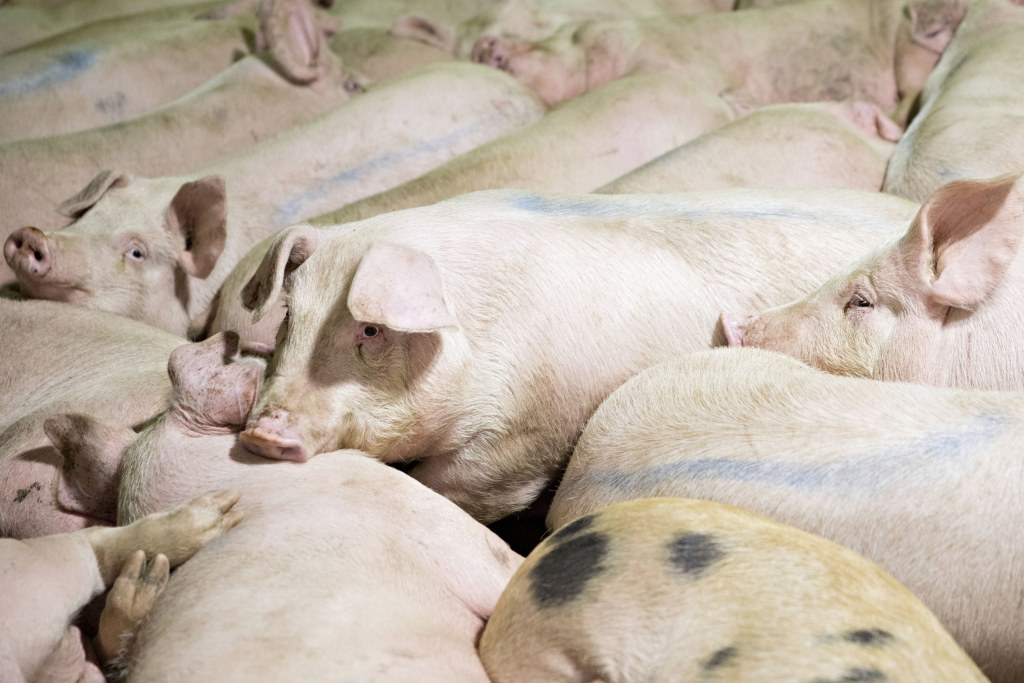 Image: Pigs in a pen before being butchered at a pork processing facility in Missouri