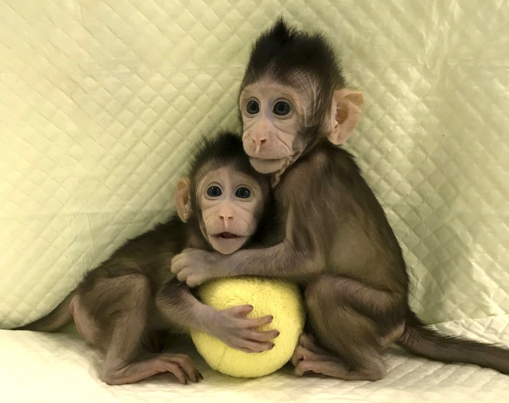 Image: Cloned monkeys Zhong Zhong and Hua Hua