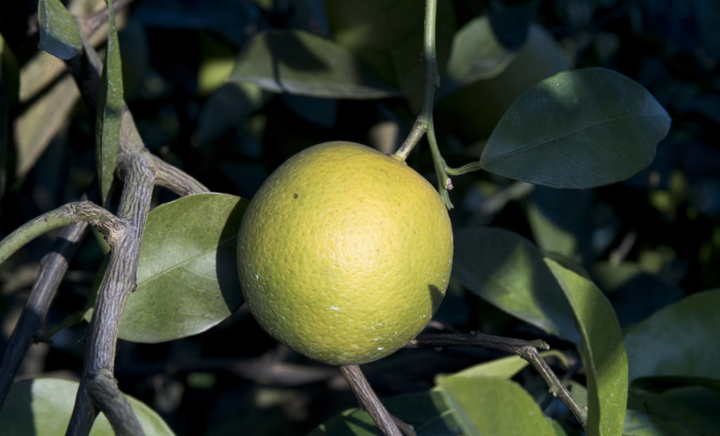 Image: An orange suffering from the effects of citrus greening.