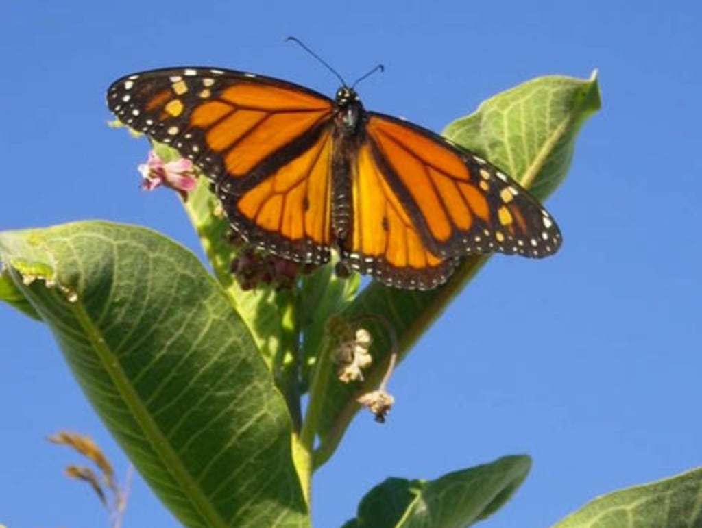 Monarch butterflies may take as many as five generations to make it from Mexico to southern Canada and back again.