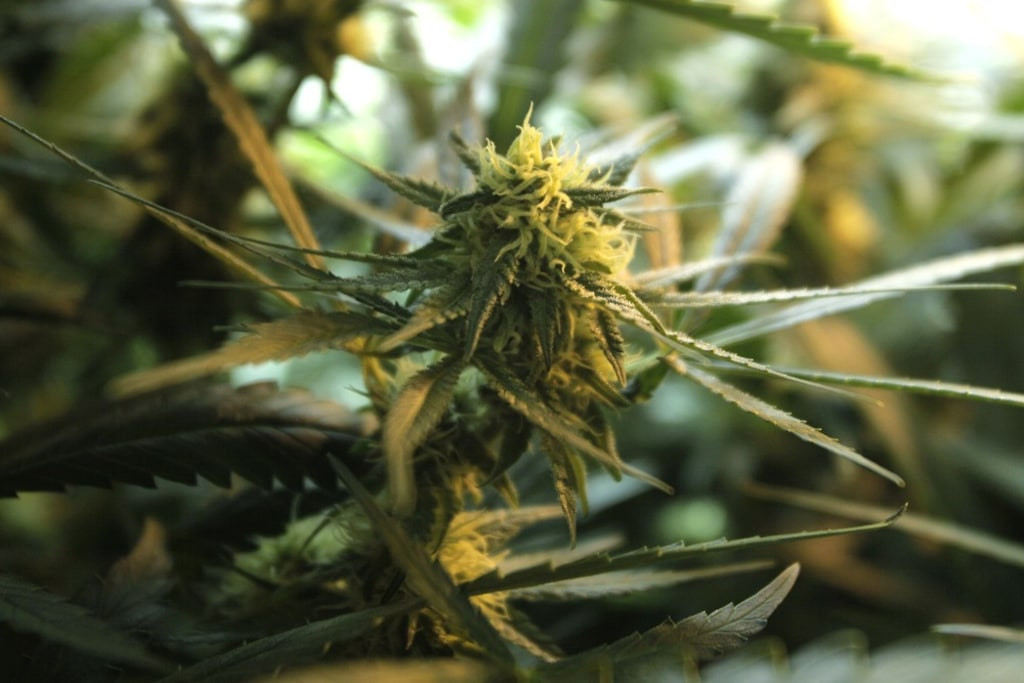 Marijuana plants are shown in this file photo from Tuesday, Sept. 15, 2009.