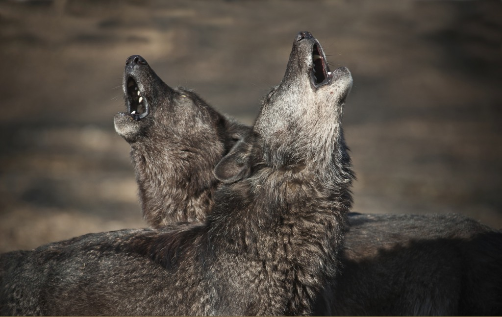 Lonely Wolf Wolves Howl When They Miss Their Friends Nbc News