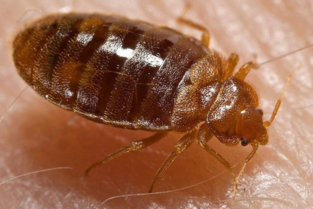 Super This Isnt Cool Freezing Bedbugs May Not Kill Them After Machost Co Dining Chair Design Ideas Machostcouk