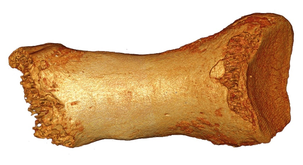 Researchers extracted DNA from this toe bone of a Siberian Neanderthal female who lived about 65,000 years ago.