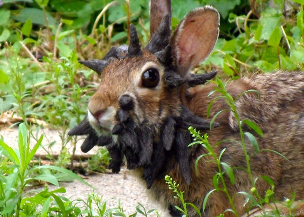 This June 26 2017 Photo Provided By Gunnar Boettcher Shows A Rabbit That Dubbed