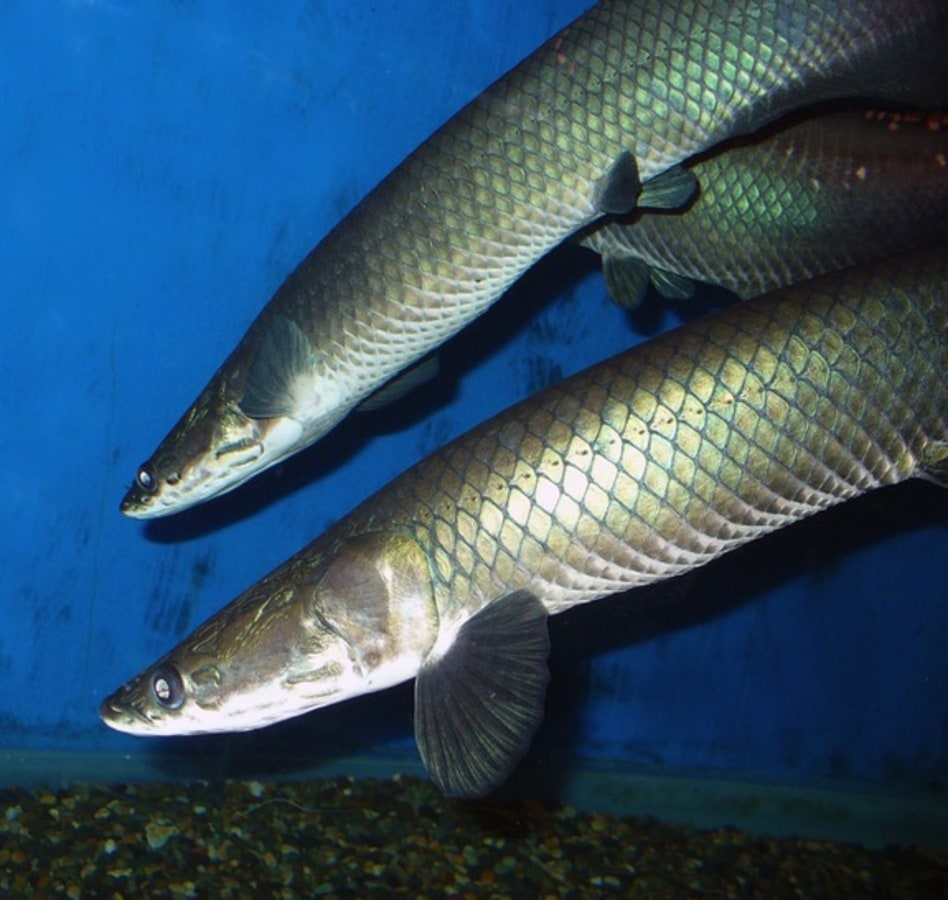 New species of giant amazon fish discovered in brazil nbc news fish sciox Images