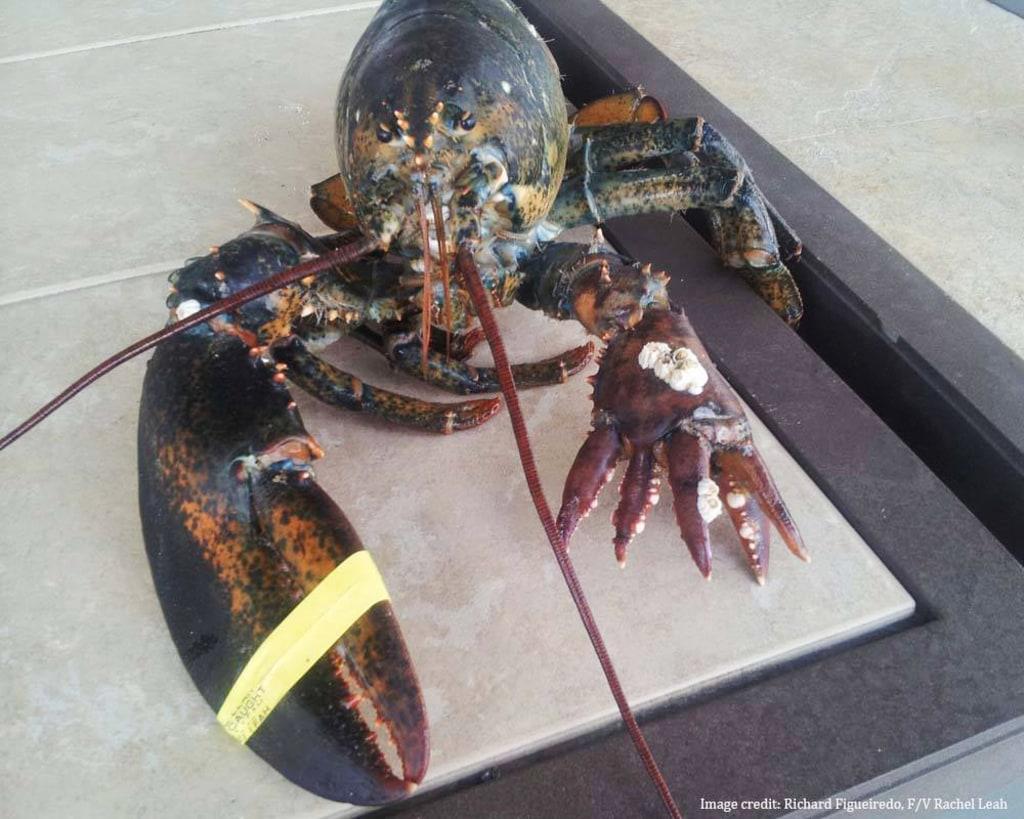 Image: Lobster