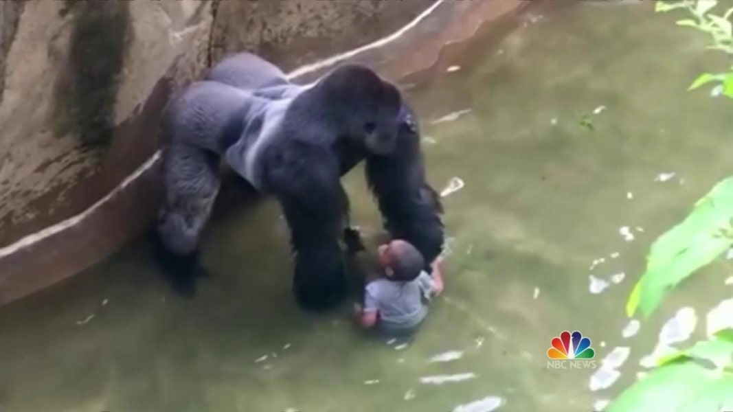 Killed Gorilla Seemed To Protect Child Who Fell In