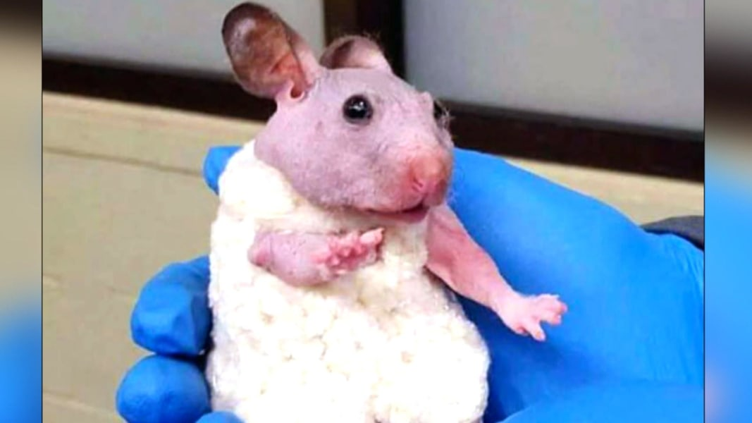 A Hairless Hamster Is Winter Ready with a Knit Sweater - NBC News