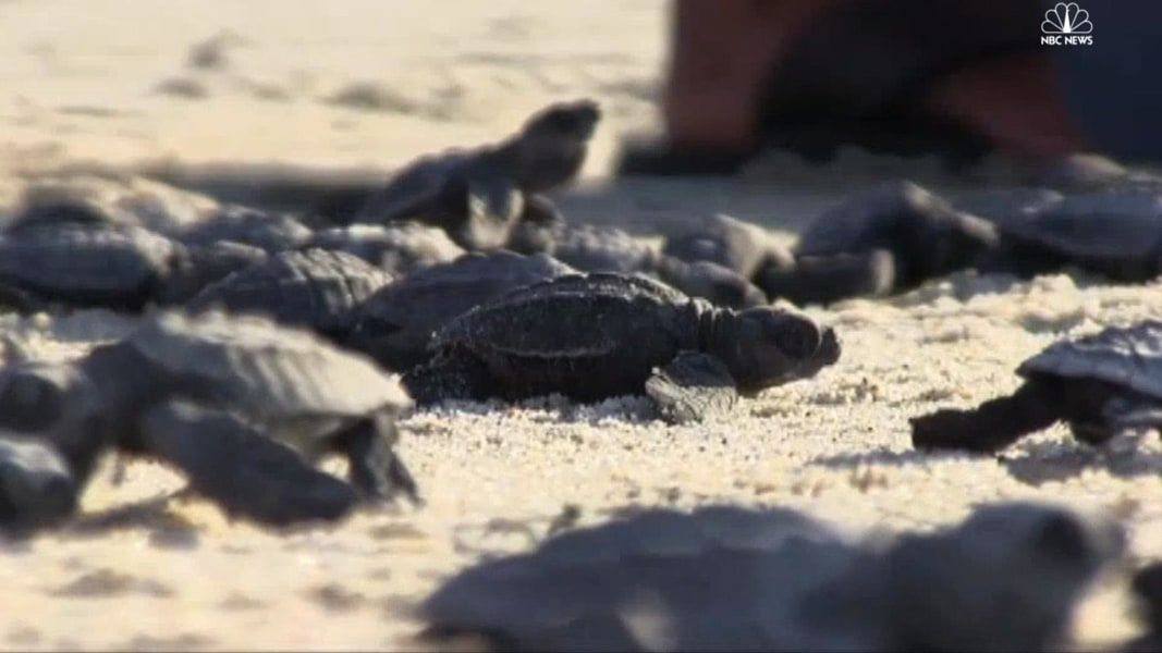 8 000 Baby Sea Turtles Released In Mexico
