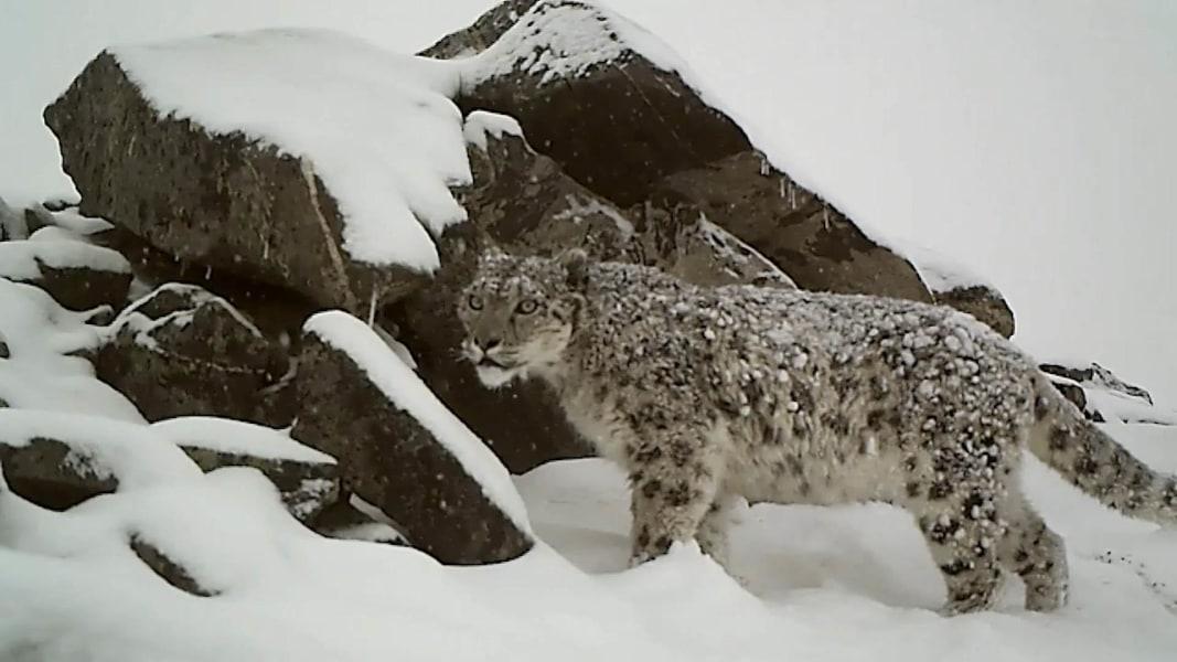 Russian Conservationists Launch Survey of Elusive Snow Leopard        Best images about i like       animals   snow leopards on Pinterest    Snow  Jaguar and Post de