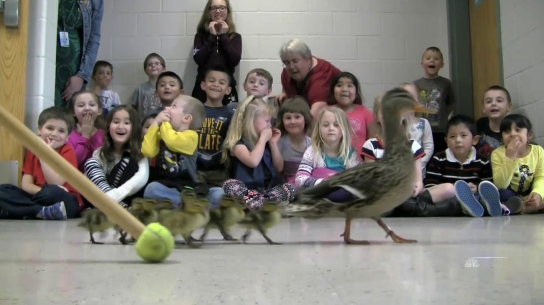 Kindergarteners Watch Annual Duck Parade Nbc News