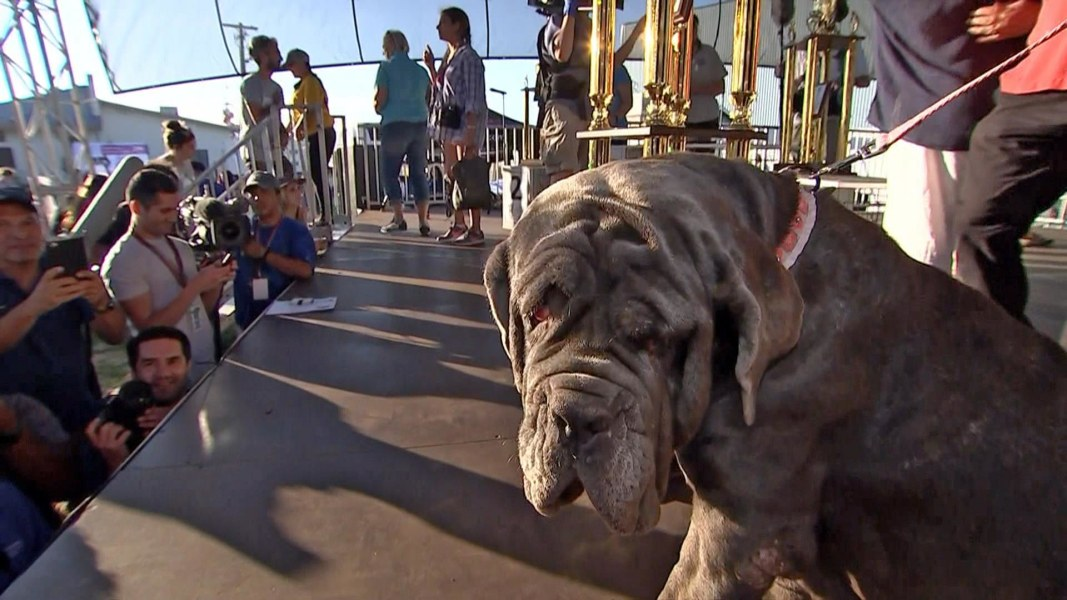 Martha the Neapolitan Mastiff Is the World's Ugliest Dog
