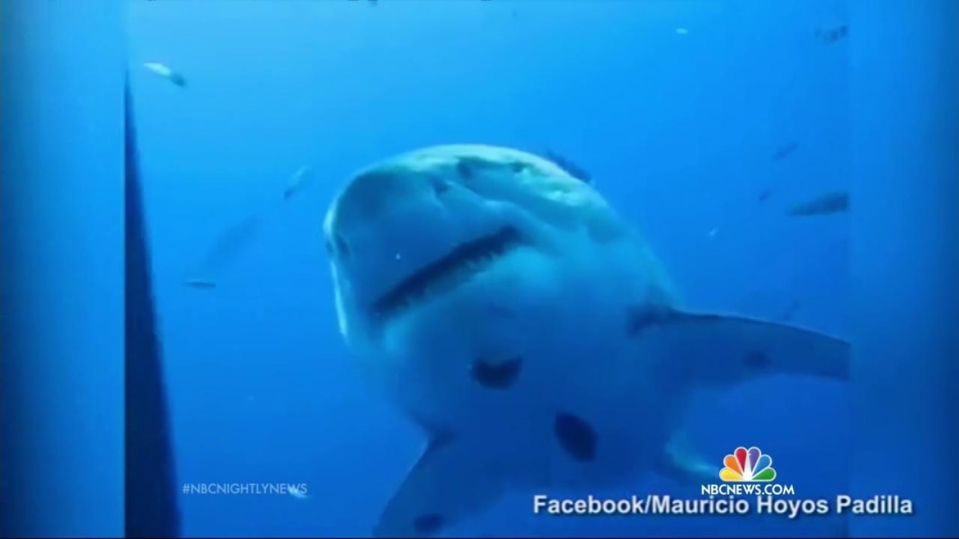 say hello to deep blue �the biggest shark ever filmed