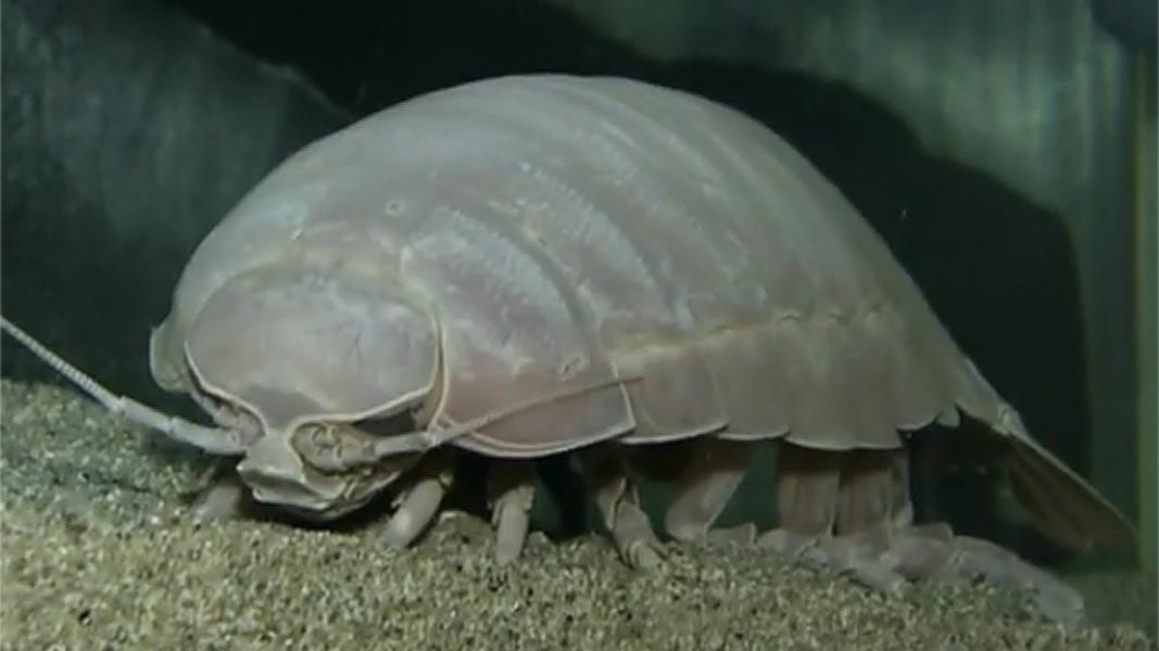 Isopod bite - photo#8