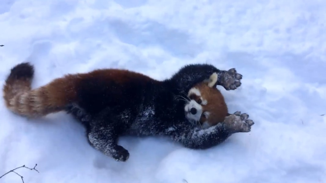 Red Pandas Playing In The Snow Is Your Daily Dose Of Cute