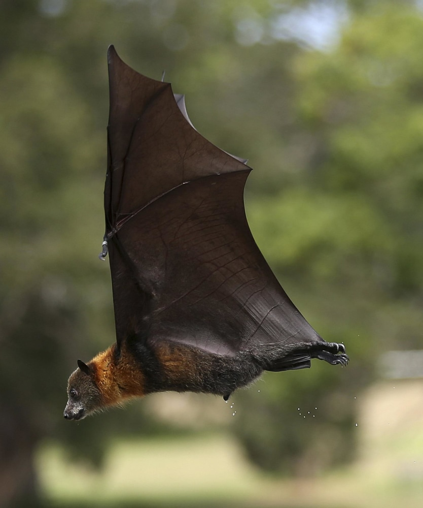 Giant flying bat