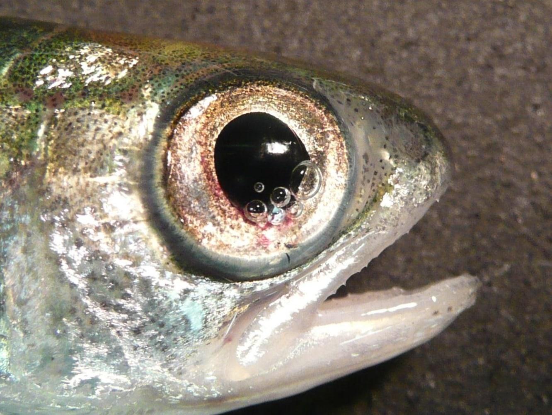 Fish friendly dams scientists race to reduce turbine for Fish eye fun