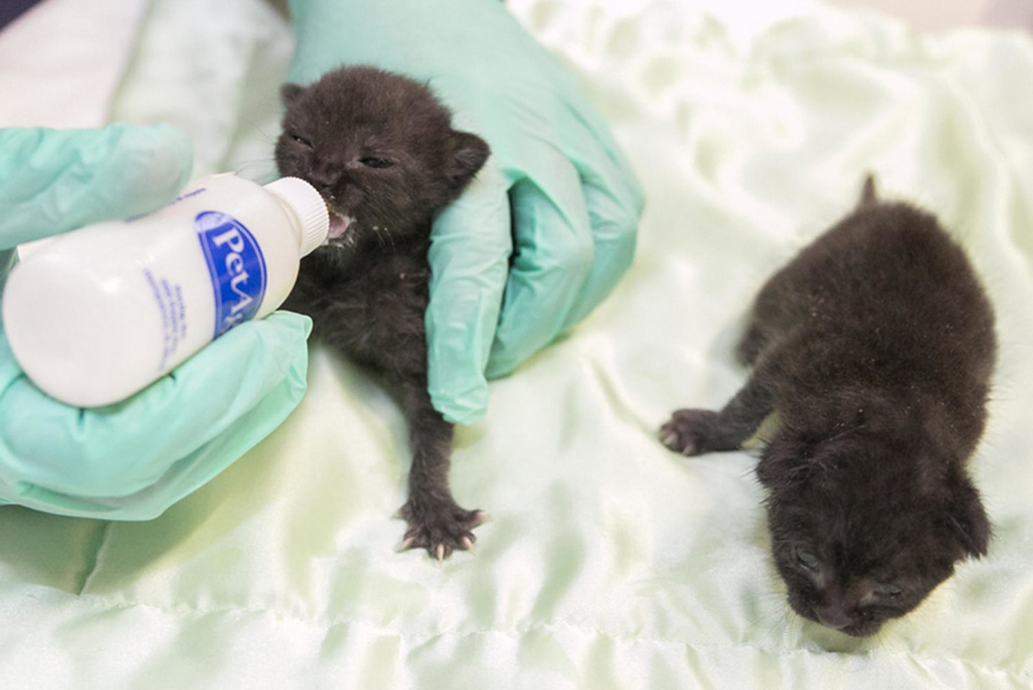 Kittens Packed Into Cardboard Box Shipped to Cable pany NBC News