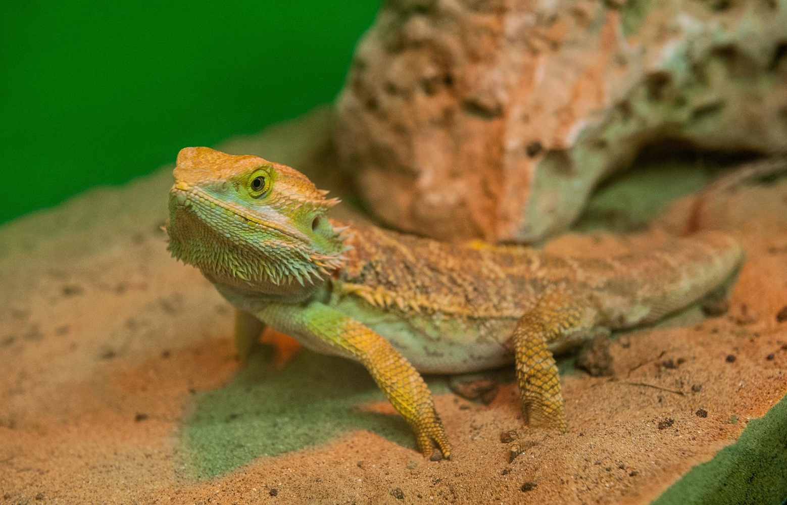 K Dragon Lizard Bearded Dragon Lizards...