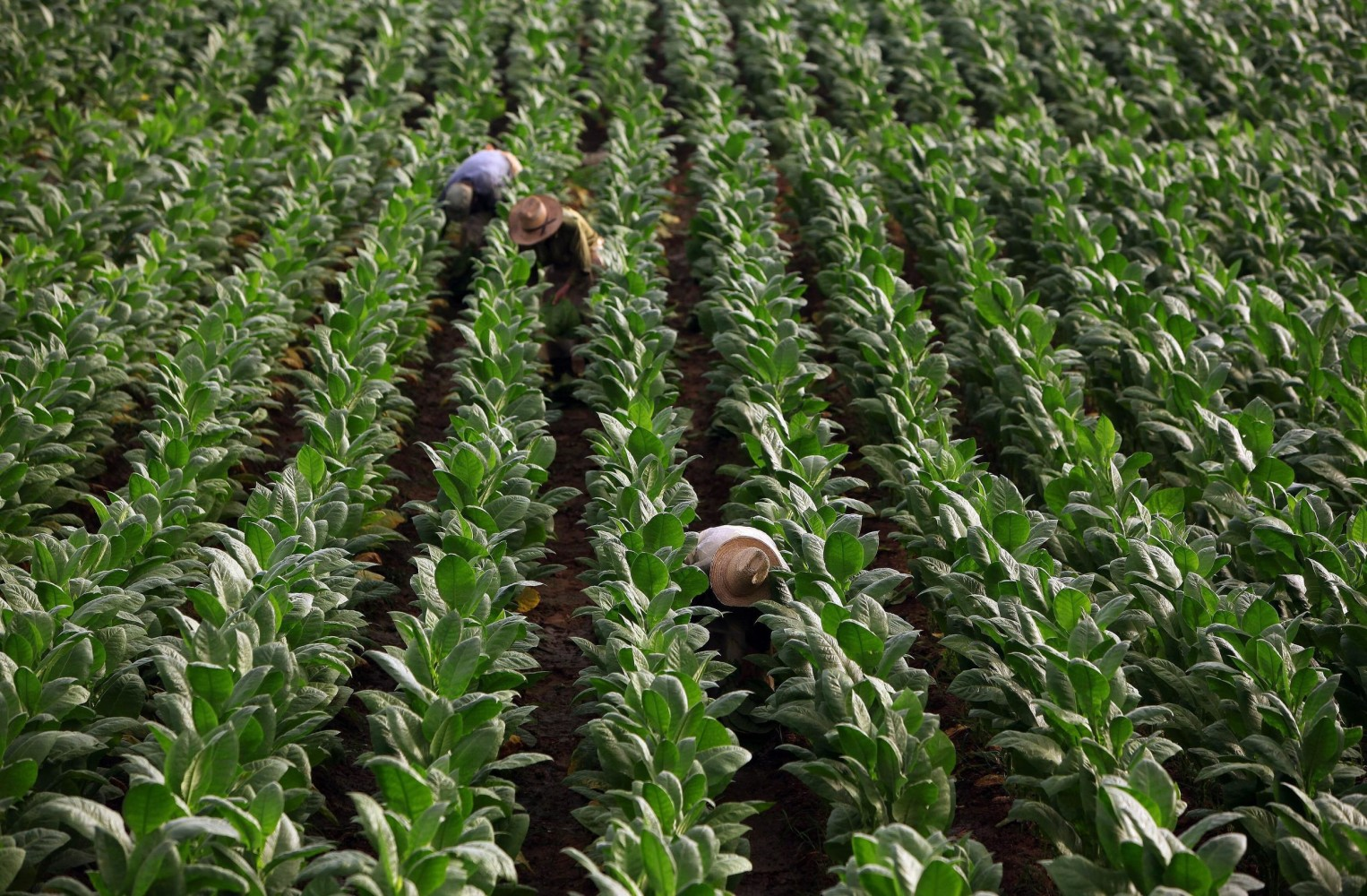 Children As Young As 7 Working Tobacco Farms, Report Says ...