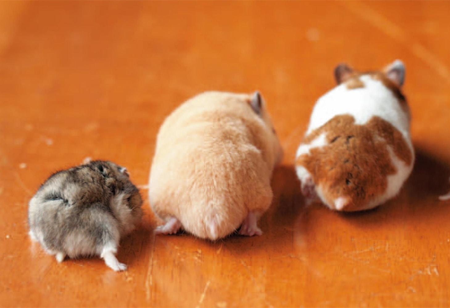 Hamster big butt