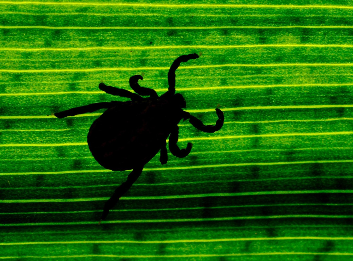 Researchers Find New Lyme Disease Bacteria