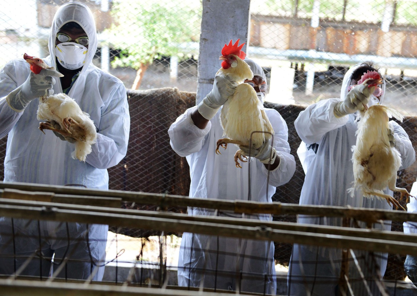 bird flu On march 5, 2017, usda confirmed highly pathogenic avian influenza (hpai) h7 in a commercial poultry flock along the mississippi flyway this hpai h7 strain is of north american wild bird.