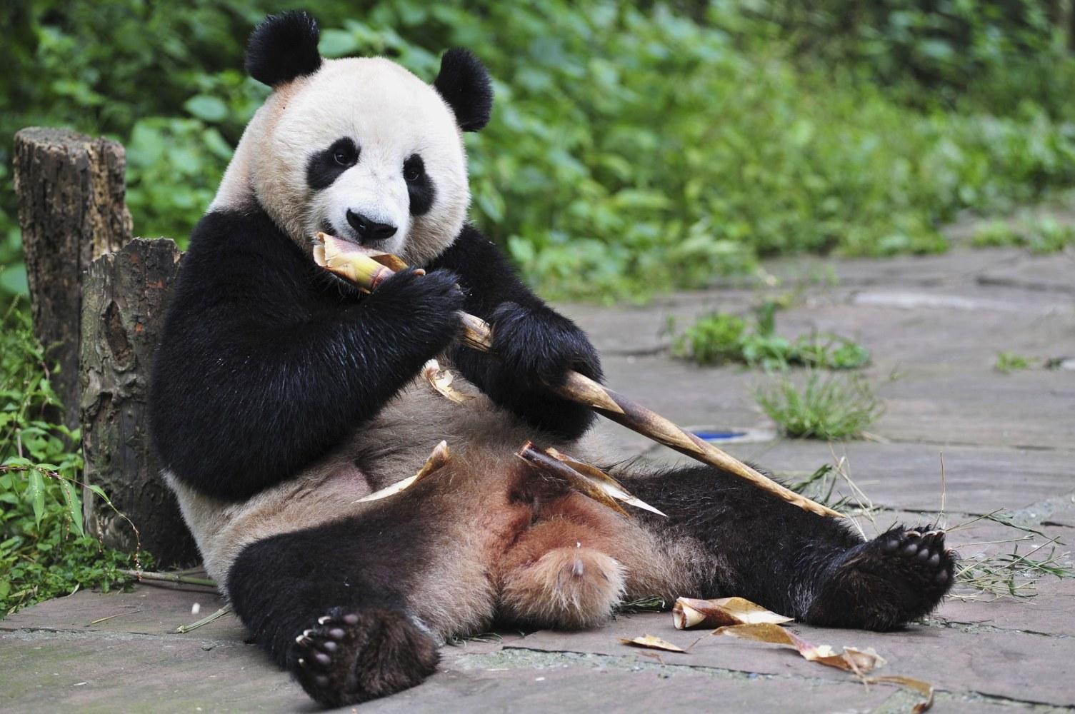 Bear Necessities: Scientists Explain How Pandas Survive ...