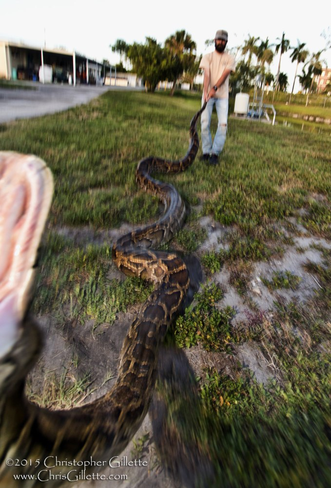 the invasion of the burmese pythons in the everglade national park An invasive population of burmese pythons (python molurus  might have also contributed to invasion  of invasive burmese pythons in everglades national park.